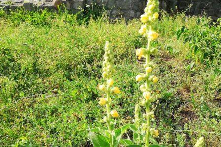 Gyógynövények az 1000 Éves Templom Kertjéből